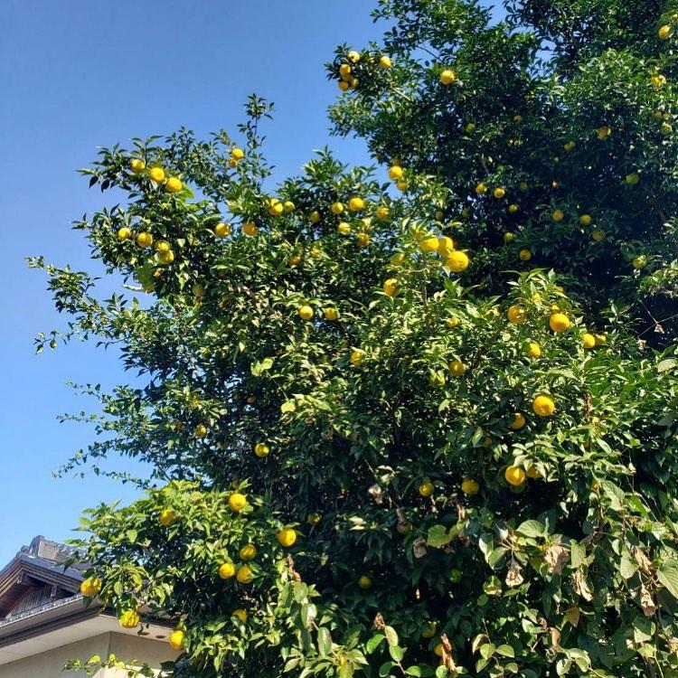 *11月20日(金)*栃木県真岡市のお野菜マルシェします🥬🥦🥕今回はお野菜だけでなく、にっこり梨や写真の柚子など種類も豊富です️お待ちしております