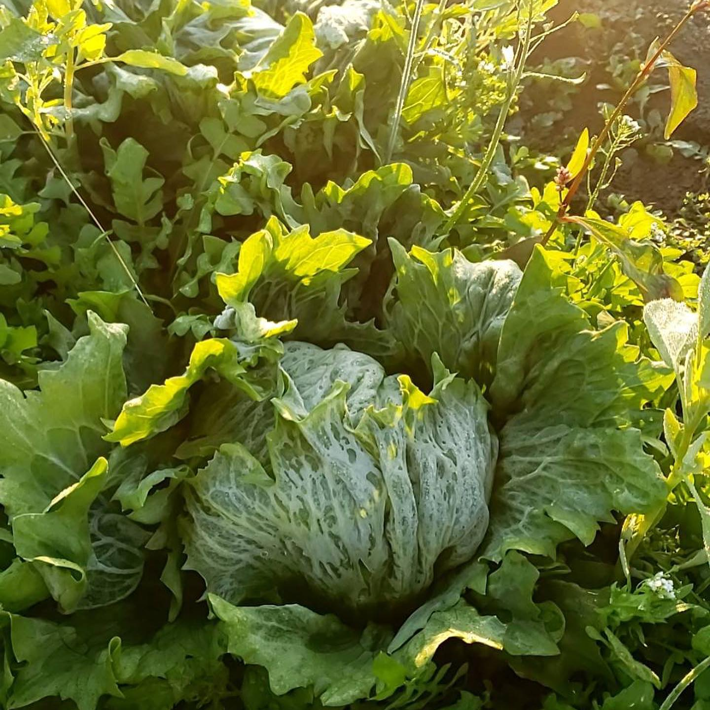 *お知らせ*12月11日(金)栃木県真岡市からピチピチのお野菜が沢山届きます!レタスに、ブロッコリーなどの写真を撮って送ってくれました。これらのお野菜がノラの店頭に並びます🥦🥕味が濃くて美味しいと評判のお野菜達を楽しみにしててくださーい🤗