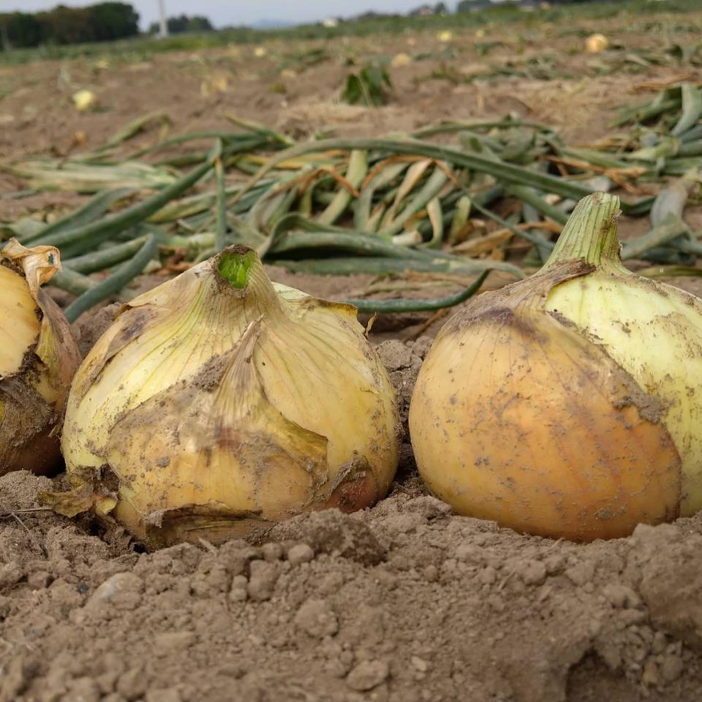 去年ご好評いただいた菅原さんの玉ねぎ畑。新玉ねぎの収穫がまっさかりです🧅みずみずしくて、辛みがほとんどないのでぜひ食べてみてほしいです🥗今日収穫してきたので、明日には店頭で販売いたしますまた3キロ、5キロの通販も考えています!準備整い次第また告知いたします。