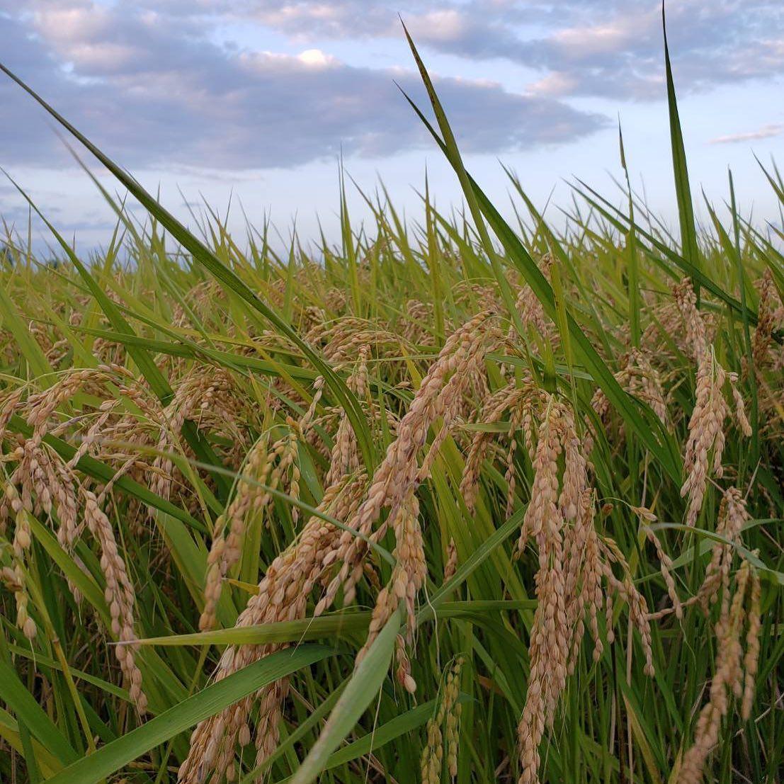 菅原さんのお米の収穫が始まっています。令和の皇室献上米に選ばれた「とちぎの星」️甘くて大粒、冷めてもおいしいと評判です店頭に届くまではもうしばらくお待ちください️